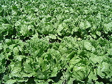Iceberg lettuce field in Northern Santa Barbara County