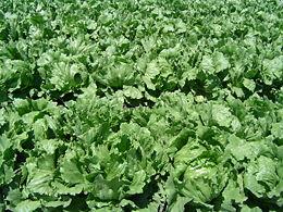 Iceberg lettuce field in Northern Santa Barbara County