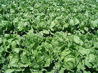 Lettuce Species of annual plant of the daisy family, most often grown as a leaf vegetable