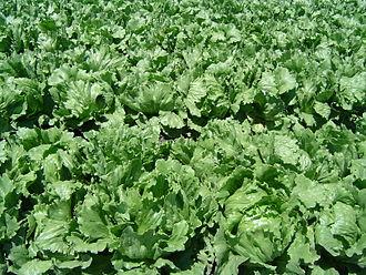 Lettuce - An iceberg lettuce field in California