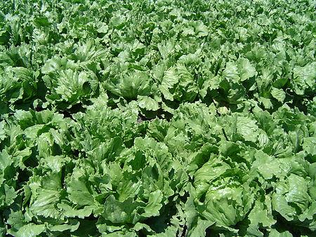 Daun salad
