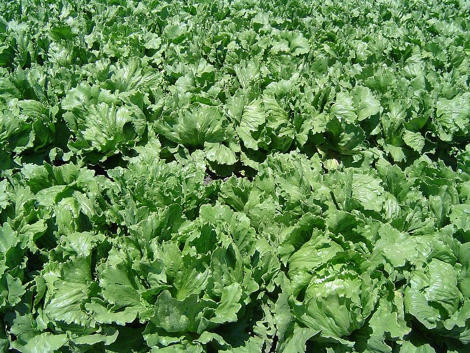 Iceberg lettuce in SB