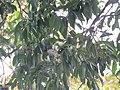 Idea malabarica - Malabar Tree-Nymph nectaring on Syzygium hemisphericum at Makutta (1).jpg