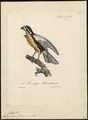 Ierax caerulescens - 1825-1834 - Print - Iconographia Zoologica - Special Collections University of Amsterdam - UBA01 IZ18200257.tif