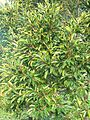 Ilex mitis - Cape Holly - foliage.JPG