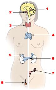 anatomi &fisiologi 180px-Illu_endocrine_system