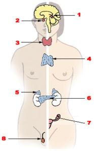 Ghiandola endocrina