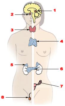 la diabetes es causada por la falta de hormonas de las cuales la glándula