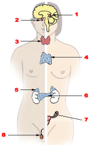 Endocrine gland - The major endocrine glands: