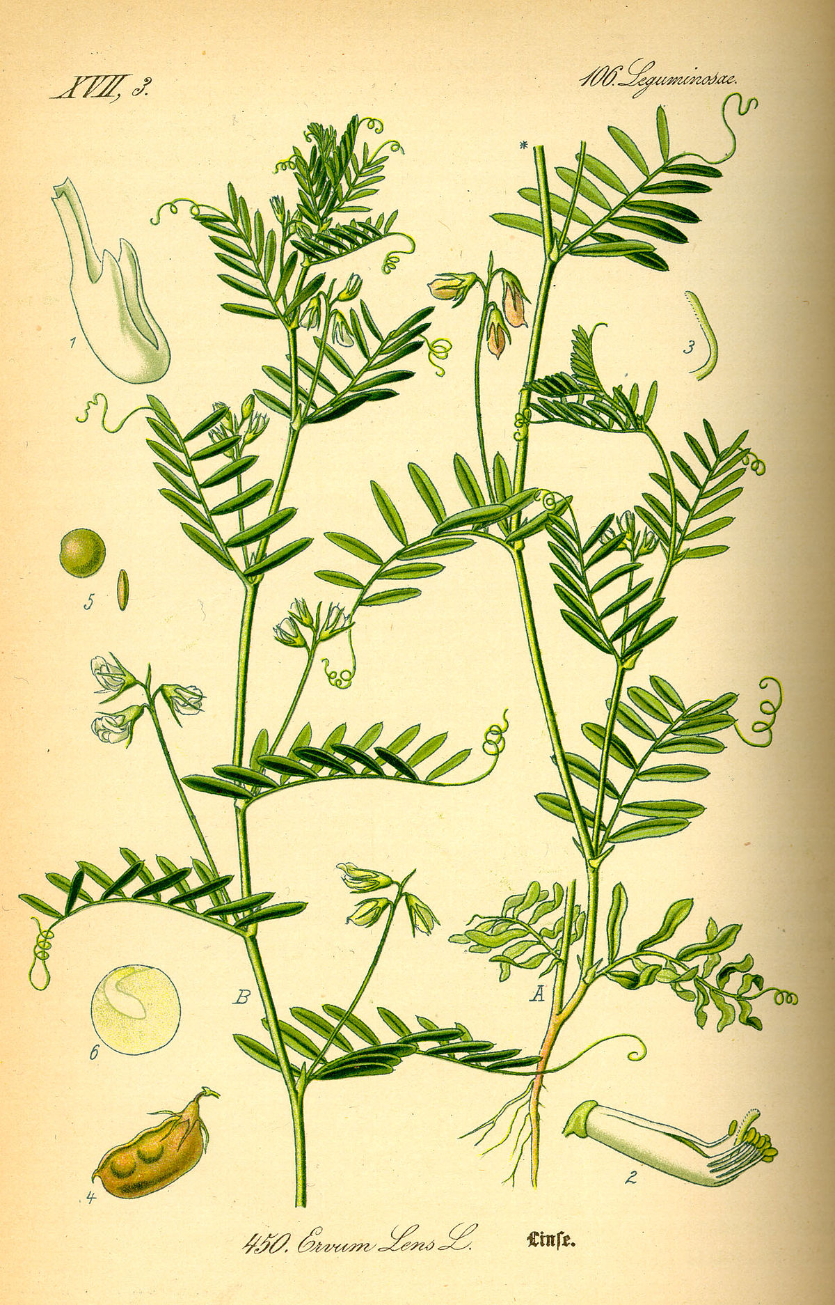 Lentille cultiv e wikip dia for Photo plan