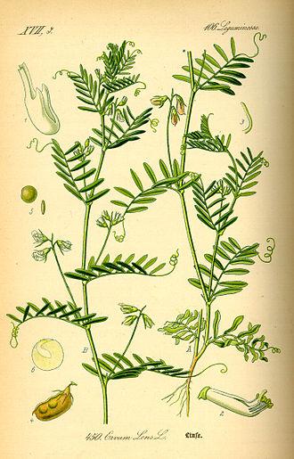 Lentil - Illustration of the lentil plant, 1885