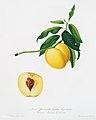 Illustration from Pomona Italiana Giorgio Gallesio by rawpixel00044.jpg