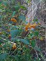 Impatiens capensis - impatiente du Cap - jewelweed - touch-me-not (4867659169).jpg