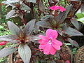 Impatiens hawkeri-csi church-yercaud-salem-India.JPG