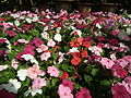 Impatiens hill balsum from lalbagh 2034.JPG