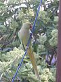 Indian Parakeet.jpg