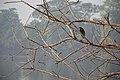 Indian Pond Heron - Santragachi Jheel - Howrah 2017-12-25 5677.JPG