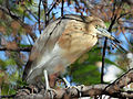 Indian Pond Heron RWD.jpg