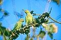 Indian Rose-ringed Parakeets (Psittacula krameri borealis) (19866822144).jpg