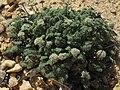 Indian spring parsley, Cymopterus aboriginum (44880522205).jpg