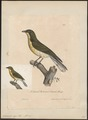 Indicator major - 1825-1834 - Print - Iconographia Zoologica - Special Collections University of Amsterdam - UBA01 IZ18800295.tif