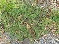 Indigofera linifolia plant1 (11139463496).jpg