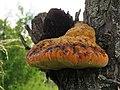 Inonotus dryadeus 1.jpg