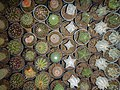 "Iran-qom-Cactus-The greenhouse of the thorn world گلخانه کاکتوس ""دنیای خار"" در روستای مبارک آباد قم- ایران 45.jpg"