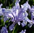 Iris0005.jpg