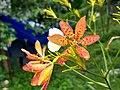 Iris domestica,leopard lily 4.jpg