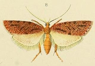 <i>Izatha attactella</i> species of insect