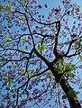 Jacaranda tree (Jacaranda mimosifolia) at Miguel Bombarda Avenue, Lisbon, Portugal julesvernex2.jpg
