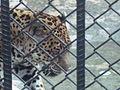 Jaguar. Parque Zoológico Simón Bolivar. Costa Rica.JPG