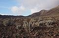 Jandia-Wolfsmilch (Euphorbia handiensis), Parque Natural de Jandía, Fuerteventura (41061374084).jpg