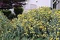 Jerusalem sage Phlomis fruticosa IMG 8714.jpg