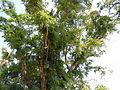 Jf9408Pterocarpus indicus Lubaofvf 10.JPG