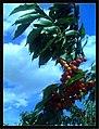 June Flower ^ Cherry Farming Endingen Kaiserstuhl - Master Seasons Rhine Valley Photography 2013 - panoramio (15).jpg