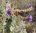 Junellia fasciculata (8726585723).jpg