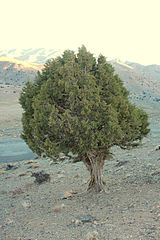 Juniper in Shahrud, Iran.jpg