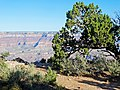 Juniper with a View, Grand Canyon 9-15 (21758798749).jpg