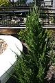 Juniperus chinensis Torulosa 1zz.jpg