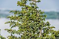Juniperus communis in Aveyron 01.jpg