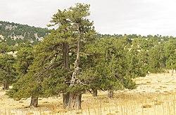 Juniperus excelsa - Boylu Ardic - Greek Juniper 07.JPG