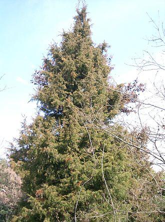 Juniperus rigida - Tree