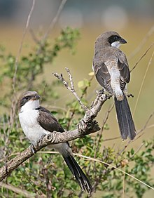 A pair of long-tailed fiscals