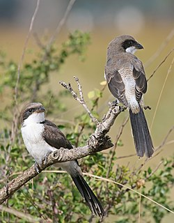 Juvenile Long-tailed Fiscals.jpg
