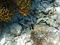 Juvenile Three Spot Dascyllus and Blackfoot Anemone Fish.jpg
