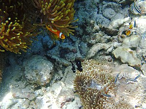 Threespot dascyllus - Image: Juvenile Three Spot Dascyllus and Blackfoot Anemone Fish