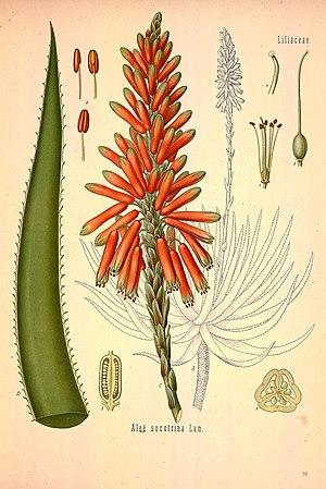 Köhler's Medizinal-Pflanzen in naturgetreuen Abbildungen mit kurz erläuterndem Texte (Plate 148) (8231739527).jpg