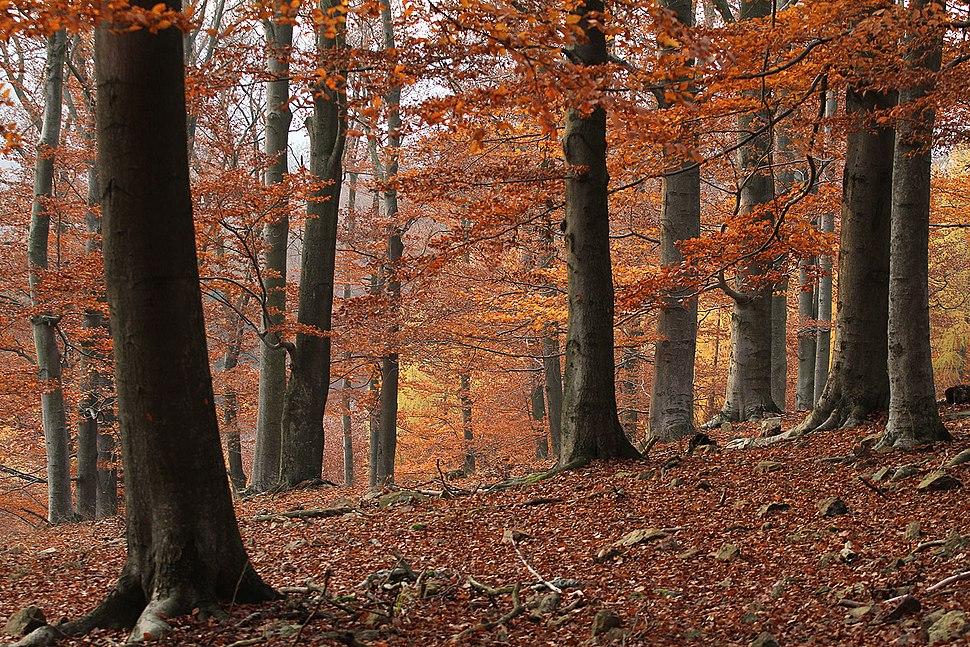 Křivoklátsko - Podzimní bučina